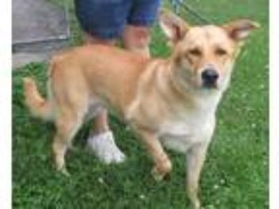 Adopt Sage a Tan/Yellow/Fawn Labrador Retriever / Mixed dog in Mount Sterling