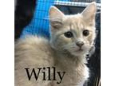Adopt Willy a Orange or Red Domestic Shorthair / Mixed (short coat) cat in