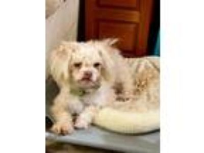 Adopt Henry Apricot a White Poodle (Toy or Tea Cup) / Shih Tzu / Mixed dog in