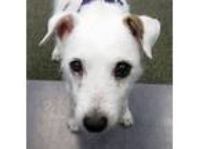 Adopt Bonnie a Jack Russell Terrier