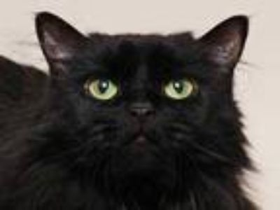 Adopt Carob a All Black Domestic Longhair / Domestic Shorthair / Mixed cat in