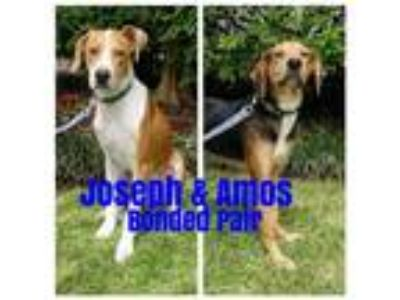 Adopt Amos a Tricolor (Tan/Brown & Black & White) Hound (Unknown Type) /