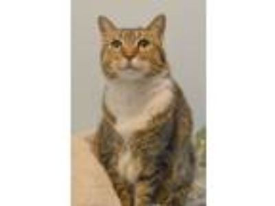 Adopt Ducky a Tabby, Domestic Short Hair