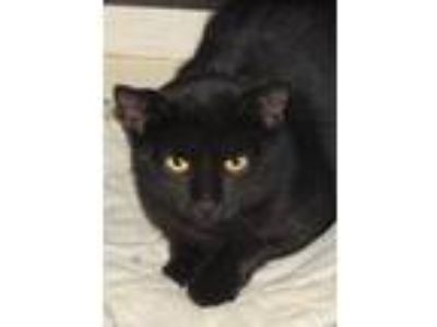 Adopt Ferris a All Black Domestic Shorthair / Domestic Shorthair / Mixed cat in