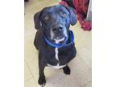 Adopt Ben a Labrador Retriever / Mixed dog in Oceanside, CA (25367922)