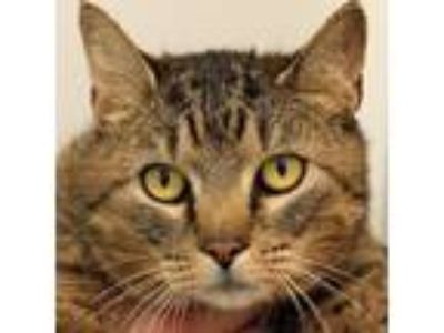 Adopt Belinda a Brown or Chocolate Domestic Shorthair cat in Middletown