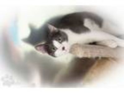 Adopt Hestia a Domestic Short Hair