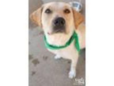 Adopt Caiti a Tan/Yellow/Fawn Labrador Retriever / Mixed dog in Washington