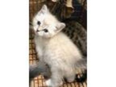 Adopt Otis(Avail 6-16) a White Siamese / Domestic Shorthair / Mixed cat in