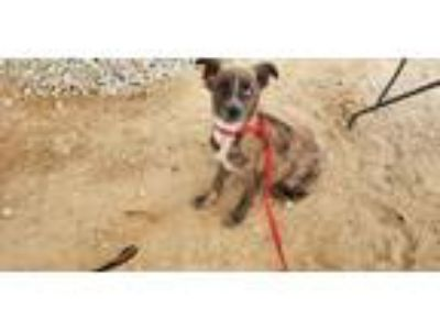 Adopt Hades a Tricolor (Tan/Brown & Black & White) Shepherd (Unknown Type) /