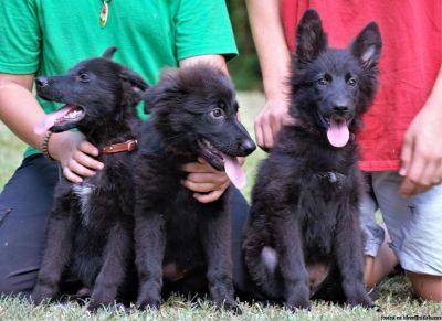 German Shepherd Puppies, direct import lines