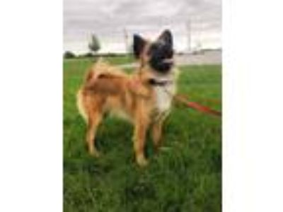 Adopt Foxy a Finnish Spitz / Mixed dog in Fremont, OH (25328454)