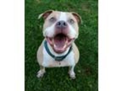 Adopt Boogie a American Staffordshire Terrier