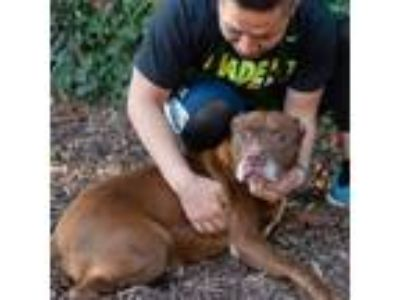 Adopt Herbert a Brown/Chocolate - with White Labrador Retriever / American Pit
