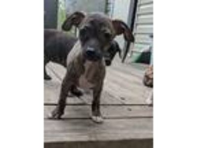 Adopt Tinkerbelle a Brindle - with White Dachshund / Mixed dog in Hagerstown