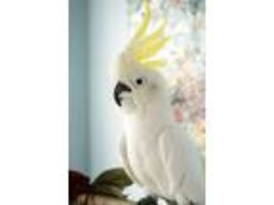 Adopt Dilly a Cockatoo
