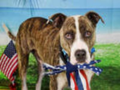 Adopt BOU a Brindle - with White American Staffordshire Terrier / Mixed dog in