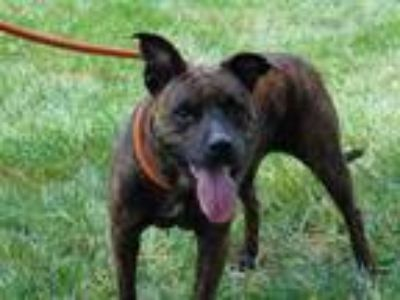 Adopt DORA a Brindle American Pit Bull Terrier / Mixed dog in Charlotte