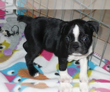 Boston Terrier PUPPY FOR SALE ADN-131427 - Boston Terrier Puppy