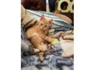 Adopt Henry a Orange or Red Tabby American Shorthair cat in Clearfield