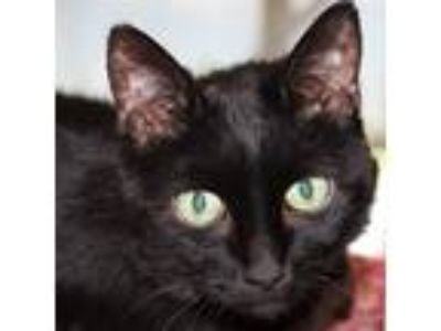 Adopt Midnite a Domestic Shorthair / Mixed cat in Des Moines, IA (24660809)