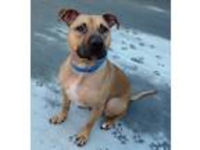 Adopt Sherlock a Tan/Yellow/Fawn - with Black Pit Bull Terrier / American