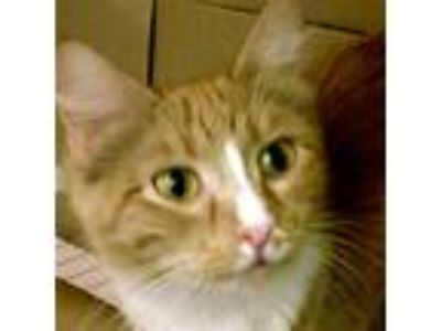 Adopt Mazie -- Bonded Buddy With Binx a Domestic Shorthair / Mixed cat in Des