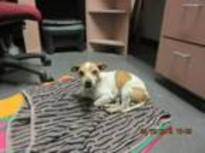 Adopt Brewster a Parson Russell Terrier, Mixed Breed