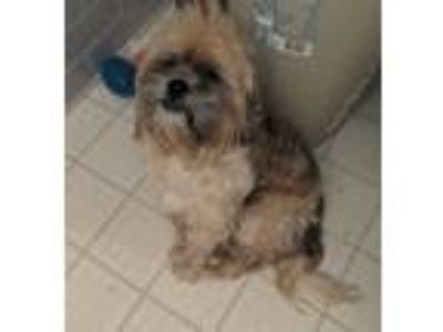 Adopt Clyde a Tan/Yellow/Fawn Shih Tzu dog in Mooresville, NC (25635619)