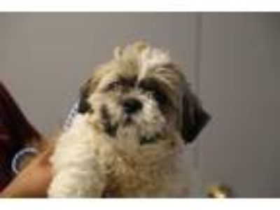 Adopt Bertha a Shih Tzu / Mixed dog in Fall River, MA (25359562)