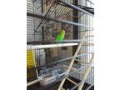 Adopt Lady Bird a Parakeet - Other bird in Fall River, MA (25865192)