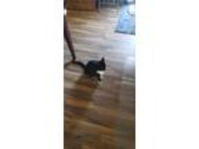 Adopt Kisses a Black & White or Tuxedo American Shorthair cat in Norfolk