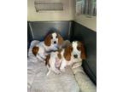 Adopt Houston and Dallas a Basset Hound