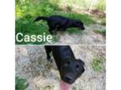 Adopt Cassie a Labrador Retriever / Newfoundland / Mixed dog in Madison