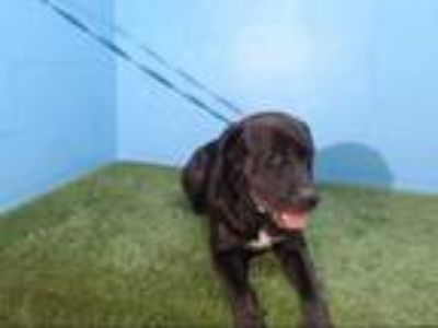Adopt ROCKY a Black - with White Labrador Retriever / Mixed dog in Orlando