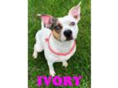 Adopt IVORY a Parson Russell Terrier