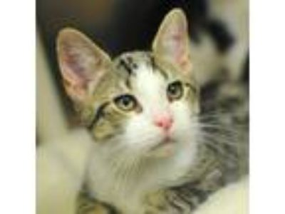 Adopt Chicken a Domestic Short Hair