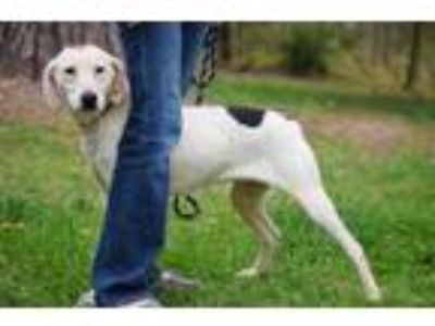 Adopt Dot a White Hound (Unknown Type) / Mixed dog in Columbus, NC (25646743)