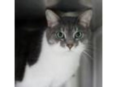 Adopt Yoyo a Gray or Blue Domestic Shorthair cat in Starkville, MS (23692989)