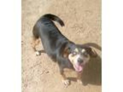 Adopt Moneypenny a Tricolor (Tan/Brown & Black & White) Beagle / Mixed dog in