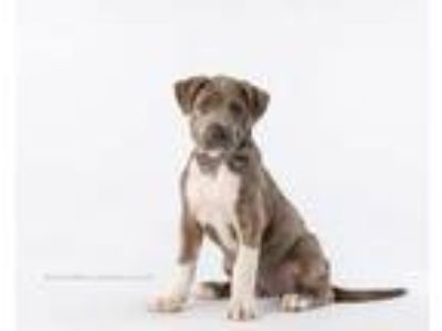 Adopt Sammy a Catahoula Leopard Dog, Labrador Retriever