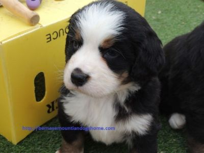 Beautiful BernesemountianDog Puppies