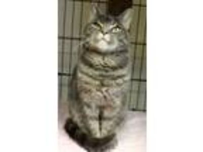 Adopt Pepperdine a Domestic Short Hair