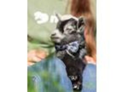 Adopt VOYAGER a Goat