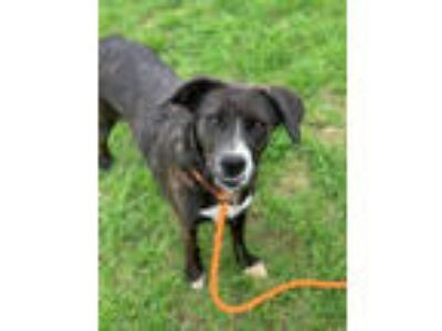 Adopt Suzie a Shepherd, Retriever