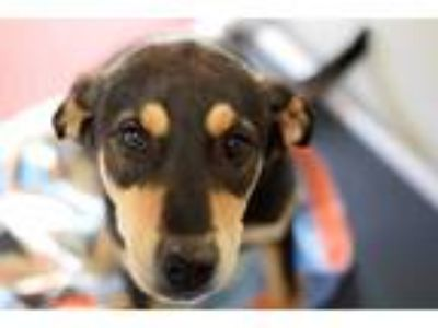Adopt ZELDA* a Black - with Tan, Yellow or Fawn German Shepherd Dog / Mixed dog