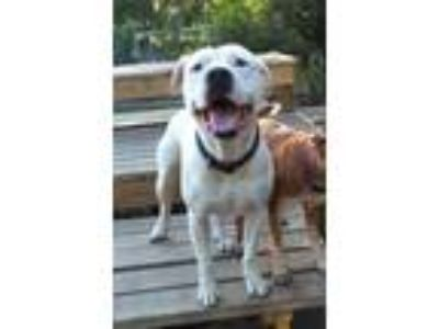 Adopt Clint a American Staffordshire Terrier