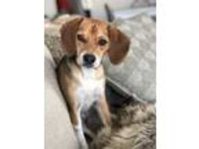 Adopt Clover a Black - with Tan, Yellow or Fawn Beagle dog in Columbia