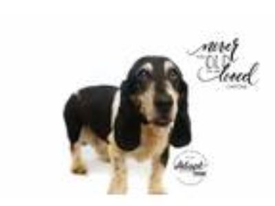 Adopt Capone a Tricolor (Tan/Brown & Black & White) Basset Hound / Mixed dog in