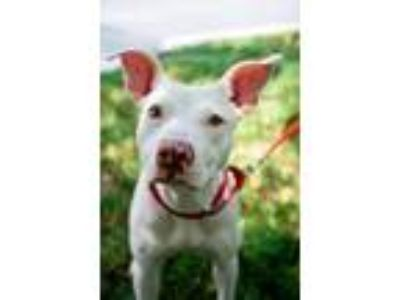 Adopt Lacey Mae a Pit Bull Terrier